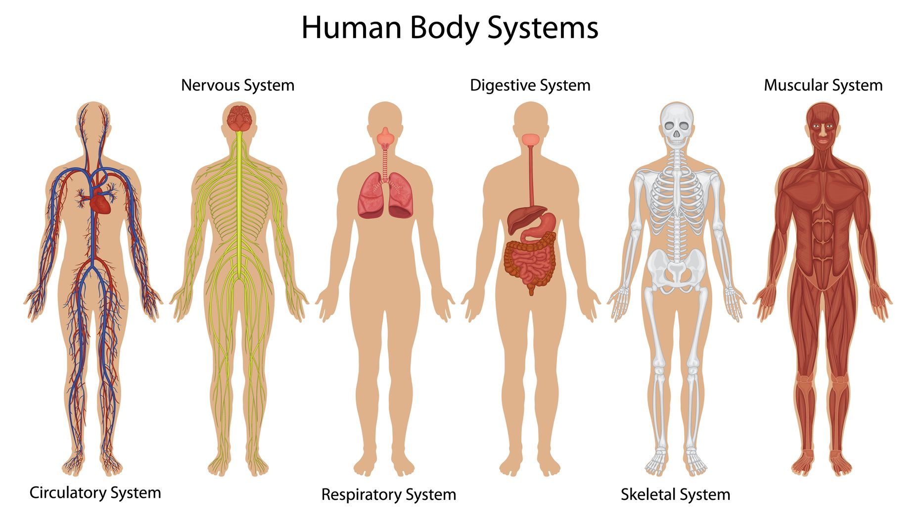 Christian Chasing The Wind Muscle Diagram Human Body Additionally Kids Circulatory System Habakkuk 3 7 Systems And Organs