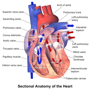 Habakkuk 3 8 1024px-Blausen_0457_Heart_SectionalAnatomy